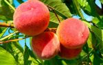 Климт «персиковое дерево» описание картины, анализ, сочинение